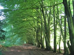 Avenue of Beeches