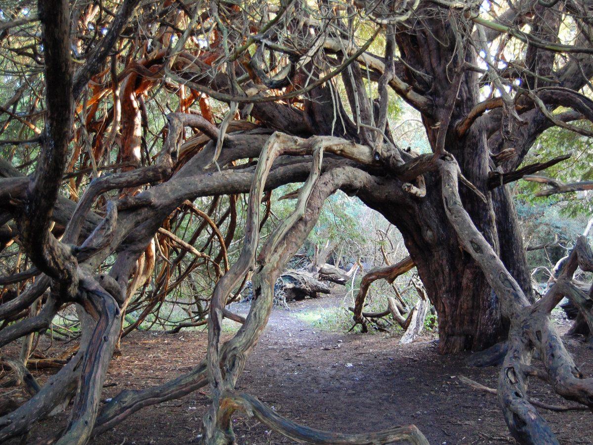 AncientYew Tree